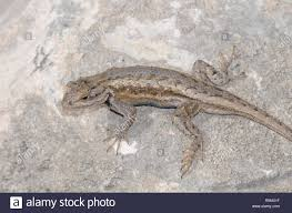 Plateau Lizard High Resolution Stock Photography And Images Alamy