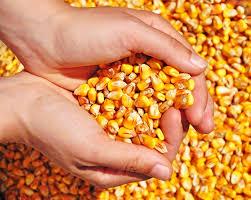 Produção e exportação de milho devem crescer na safra 2018/2019Produção e  exportação de milho devem crescer na safra 2018/2019 - Cidades na Net