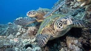 hd wallpaper two sea turtles two