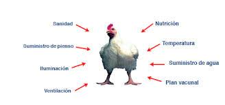 Resultado de imagen de mito hormonas en pollo