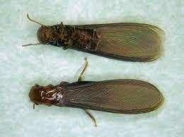 21+ Drywood Termites  Pics