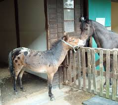 Riley the hinny (male pony x female donkey) arrives at Redwings Ada Cole in  Essex | Tiny horses, Pretty horses, Beautiful horses