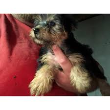 5 toy yorkie puppies in