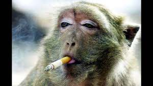 Verry Funny Monkeys مقالب مضحكة مع القردة Youtube