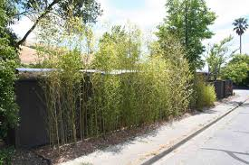 Transplanted Bamboo Privacy Hedge Marin Homestead