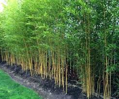 Live Bamboo Fence Willow Fence Live Bamboo Fence Ideas Bamboo Landscape Bamboo Plants Bamboo Garden