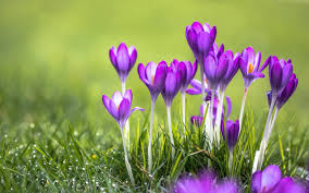 صور خلفيات ورد البنفسج 2018 صور ورد وزهور Rose Flower Images