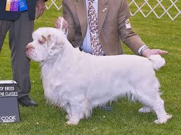 clumber spaniel dog spotters