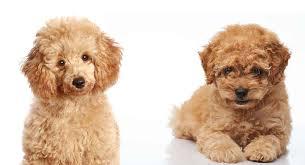 toy poodle vs miniature poodle what s