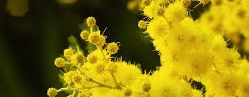 """Festa delle donne, Coldiretti: """"Business sulle mimose ..."""