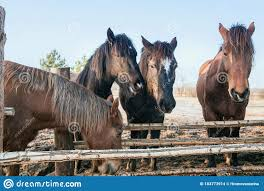Five Rural Horses At The Feeder Behind The Fence Stock Photo Image Of Grazing Autumn 183773914