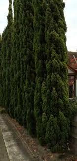 trees for narrow spaces nurseries