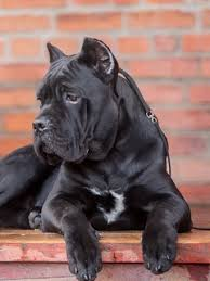 Download wallpaper 240x320 cane corso, dog, look old mobile, cell ...
