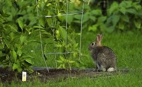 How To Rabbit Proof A Garden