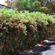 Callistemon Hannah Ray A Red Flowering Bottle Brush Shrub Ideal For Informal Hedging Australian Online Nursery The Plant Hub