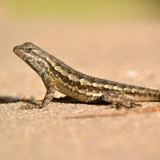 Western Fence Lizard Facts Diet Habitat Pictures On Animalia Bio