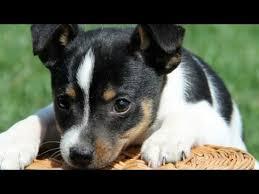 cute toy fox terrier puppies