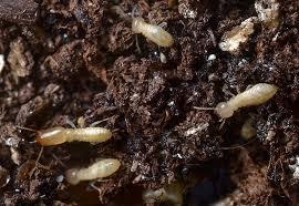 36+ Winged Subterranean Termites  Background