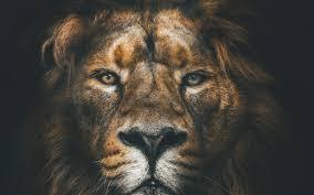 تحميل خلفيات الأسد 4k كمامة الحياة البرية الحيوانات المفترسة