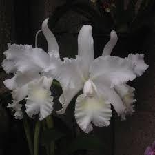 Orchid (Cattleya Wendy Patterson 'Polaris') - Garden.org