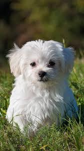 maltese puppy wallpaper iphone