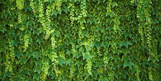 Ivy Hedging