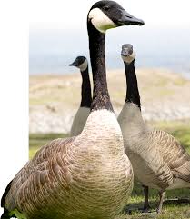 How To Get Rid Of Geese On Your Property Go Geese Go