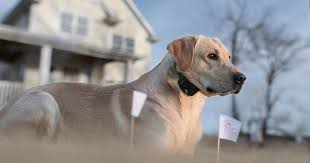 Training Your Hunting Dog To An In Ground Fence Sportdog