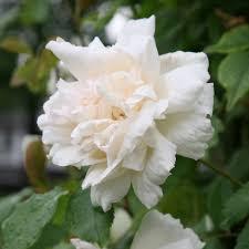 انواع الورد الابيض المرسال