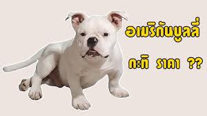 อัปเดต ราคาสุนัขอเมริกันบูลลี่ 2019 กะทิจะราคาเท่าไหร่ [AmericanBully] -  YouTube