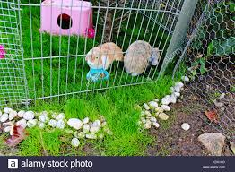 Cute Pet Rabbit Outdoor Playground Cage Coop Hutch Lop Eared Stock Photo Alamy