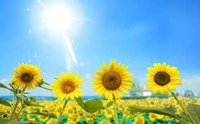 sunflower wallpapers hd