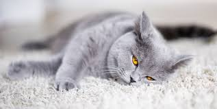best cat food for british shorthairs 2020