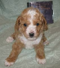 parti coloured toy poodle male puppy