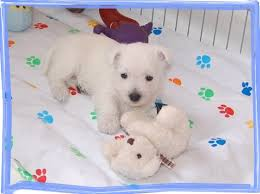 WEST IN SHOW ~ Westies | West Highland White Terriers – WEST IN SHOW  Kennel, Slovenia, Europe | Page 2