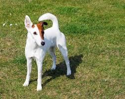 Fox Terrier : Infos, Conseils, Avis… Tout savoir sur cette race de chien