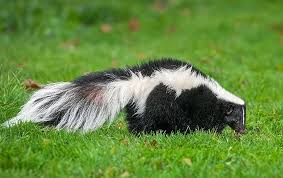 Learn More About Skunks In Texas