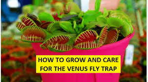 Grow and Care for the Venus Fly Trap ...