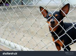 Miniature Pincher Dog House Looking Out Stock Photo Edit Now 1118712938