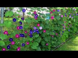 Landscaping Along A Chain Link Fence Youtube
