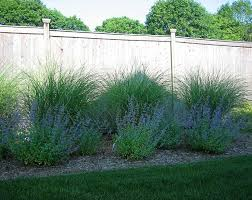 Ornamental Grass Along Fence Love The Maiden Grass Along A Fence Possible Ba Ornamental Grass Landscape Privacy Landscaping Backyard Landscaping Along Fence