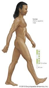 Homo sapiens   Meaning & Stages of Human Evolution