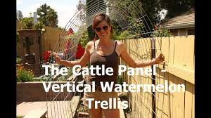 How To Make A Watermelon Garden Arch Trellis From A Cattle Panel Youtube