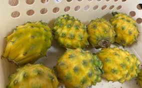这里的黄色火龙果全年产果种植户年收入有望突破10万- 综合- 新京报网