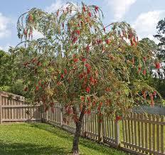 Picture Of A Bottlebrush Tree Callistemon Species