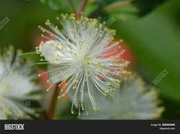 Common Myrtle White Image & Photo (Free Trial) | Bigstock