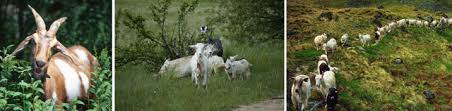 Goat Stewardship Ethical Humane Conscientious Goat Raising Husbandry