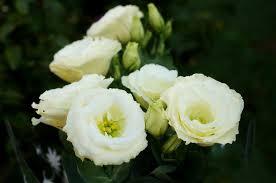 Így gondozd a liziantuszt, hogy nálad is sokáig virágozzon! - KertInfo.hu