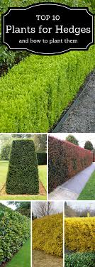 Top 10 Best Plants For Hedges And How To Plant Them Garden Hedges Backyard Landscaping Designs Front Yard Landscaping