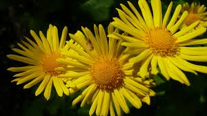 صور ورد أصفر روزبيديا
